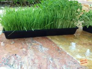 picture of wheatgrass tray - homegrown