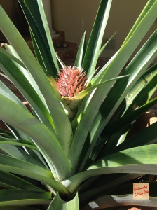 Picture of Pineapple on the patio