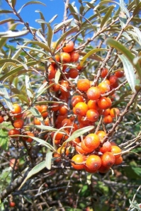 Sea Buckthorn Oil – The Miraculous Benefits ! – Part 2