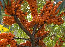 Sea Buckthorn Oil - The Miraculous Benefits!