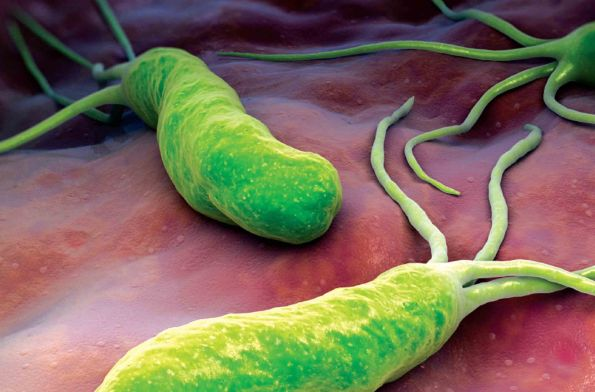 Image result for h. pylori bacteria
