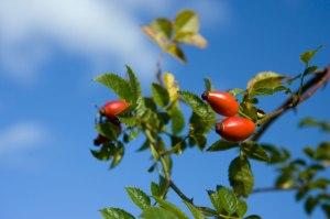 The Amazing Health Benefits of Rosehip Tea!